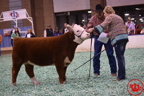 Miniature Herefords Draw A Crowd